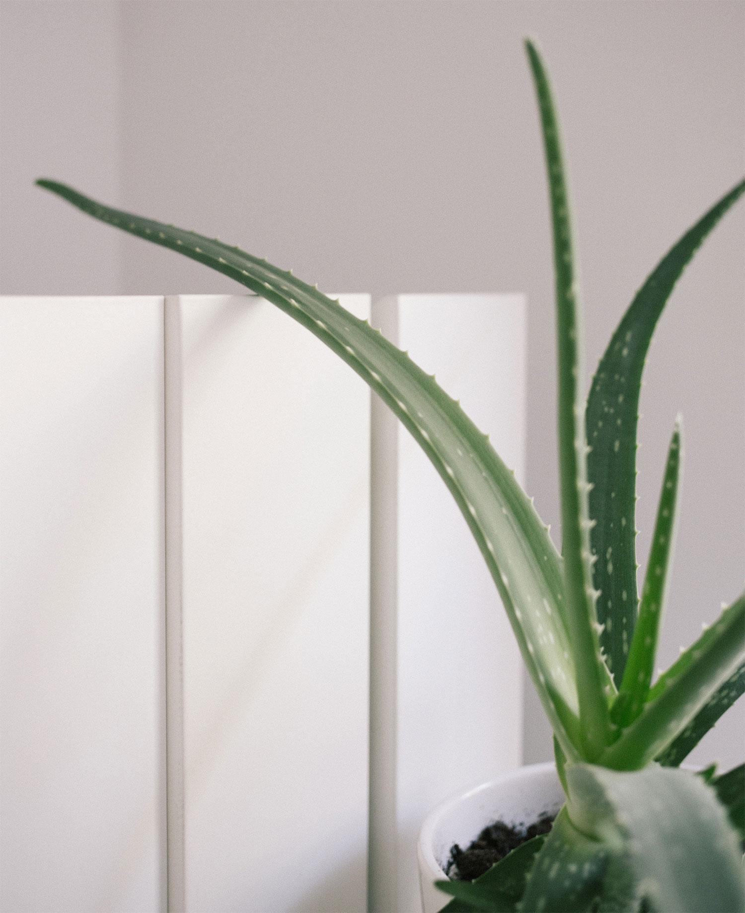 alo vera plant slaapkamer